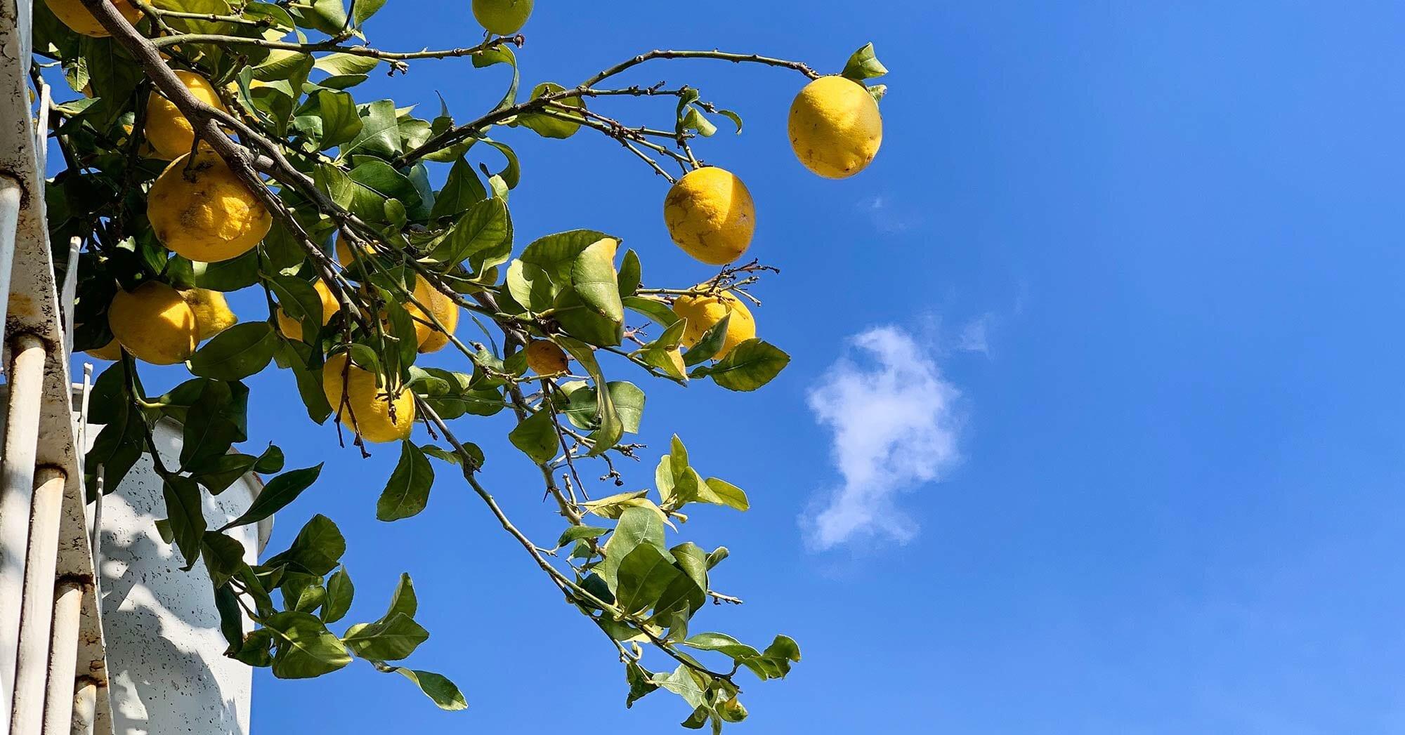 лимоны-на-побережье-амальфи.jpg